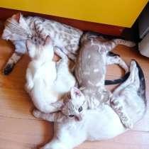 Продам котят бенгалов, в г.Брест