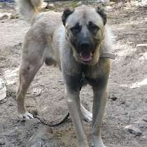 Продам бойцовую собаку Турецкий канал, в Сургуте