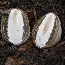Выращивание гриба Веселка, в г.Белоозерск