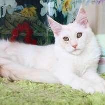 Кошечка породы Мейн кун окрас красный дым, в Иванове