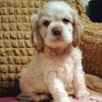 Палевый щенок американского кокер спаниеля, в Всеволожске