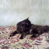 Отдам сибирскую кошку, в Кургане
