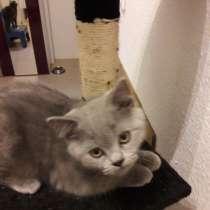 Британский котёнок голубого окраса, в г.Штутгарт