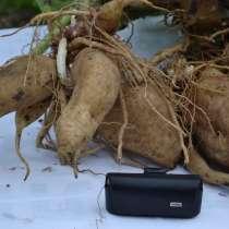 Якон - сахароснижающее растение, в Пятигорске