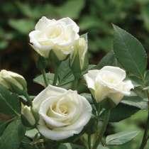 Саженцы роз ОПТОМ, в Нижнем Новгороде