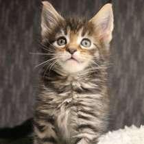 Hermione Мейн-Кун котенок, в г.Тарту