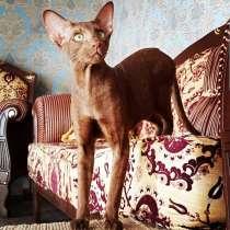 Ориентальные котята В Грузии, в г.Тбилиси