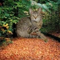 Шотландские котята, в Копейске