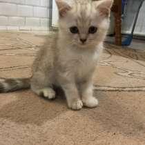 Шотландские котята, в г.Брест