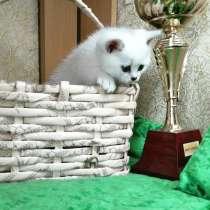 Британские котята, в Москве