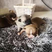 Чихуахуа щенки, в г.Брест