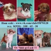 Прекрасные щеночки чихуа-хуа разных окрасов, в Ярославле