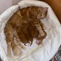 Продаются котята Мейн-куна, в Кисловодске