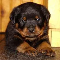 Продам щенков ротвейлера, в Артеме