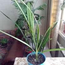 Финиковая пальма г. Долгопрудный, 1,5 года, в Москве