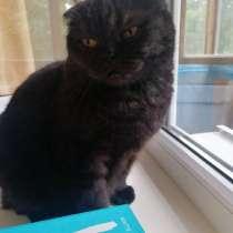 Шотландская вислоухая кошка, в Белгороде