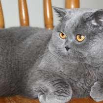 Вязка с Британским опытным котом, в Электростале