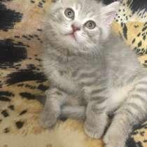 Продаются замечательные британские котята), в Перми