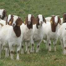 Племенные козы Бурской породы (Скот из Европы класса Элита), в г.Ереван