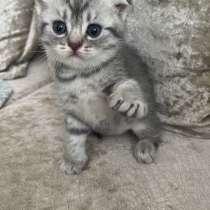 Британские котята шиншила, в Рязани