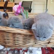 Шотландские элитные котята, в г.Берлин