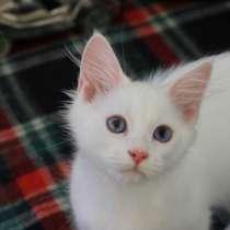 Сибирский котик окрас белый с голубыми глазами, в Нижнем Новгороде