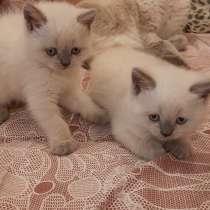 Продам породистых котят, в г.Мариуполь