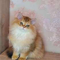 The kitten is looking for a family. From the cattery of cats, в г.Нью-Йорк