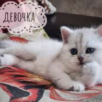 Шотландские котята окраса серебристая шиншилла, в г.Минск