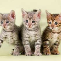 Котята-Мышеловы, в Краснодаре