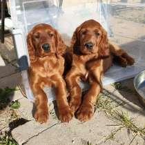 Irish Setter puppies for sale!!!, в г.Вон