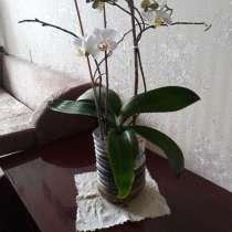 Орхидея фаленопсис, в Москве
