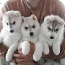 Verkauf von homogenen Welpen Rasse sibirischen Husky, в г.Munsing