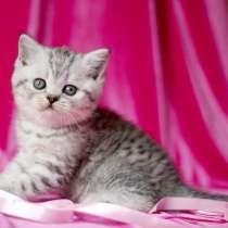 Шотландские котята мраморные и полосатые, в Москве
