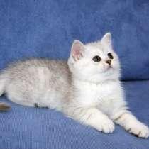 Шотландские котята, в г.Комрат