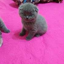 Продаю шотландских котят, в г.Хайфа