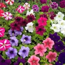 Петуния и рассада других цветов оптом и в розницу, в Абакане