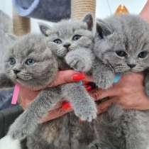 Продаются котята скотиш-страйт, в г.Кишинёв