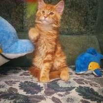 Котенок мейн-кун, в г.Могилёв