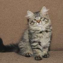 Сибирские котята, в Москве