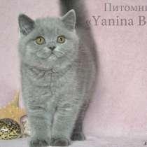 Британские плюшевые котята, в г.Павлодар