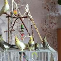 Птенцы кореллы, в Ульяновске