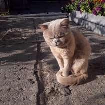 Кот британец, в Рубцовске