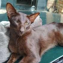 Ориентальный кот на вязку, в г.Минск