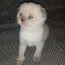 Шотландские котята, в г.Мариуполь