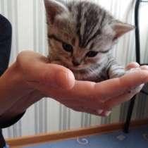 Шотландские вислоухие котята, в Кунгуре