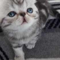Котята экзоты ищут новый дом, в г.Лимбург-на-Лане