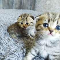 Котята шотландские, в г.Брест