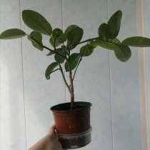 Лимон Пандероза Домашний плодоносящий цветущий черенок, в Электрогорске