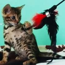 Бенгальские котята, в г.Брест